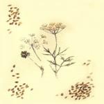 АНИСОВОЕ МАСЛО (Oleum Anisi)