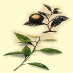 БЕРГАМОТОВОЕ МАСЛО (Oleneum Bergamottae)