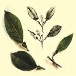 ПЕТИТГРЕЙНОВОЕ ЭФИРНОЕ МАСЛО (Oleum Citri aurantii, Oleum Petitgrainae)
